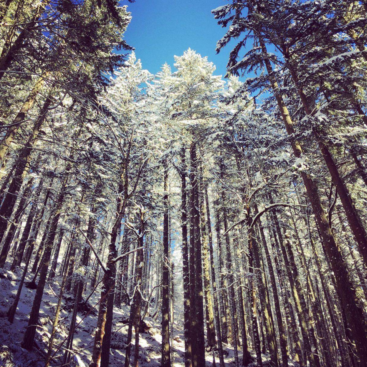 Redwoods at Spencer Butte, Oregon